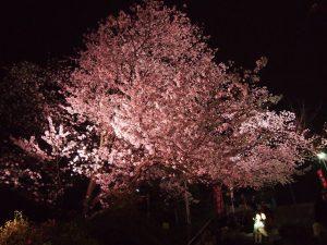 夜桜 福岡